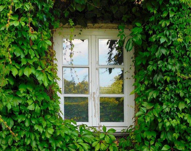 okno obrostlé břečťanem