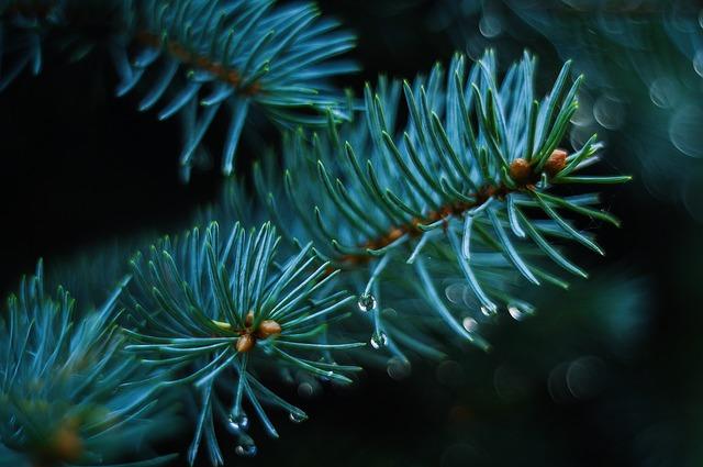 zelená borovice