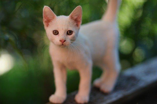 bílé kotě