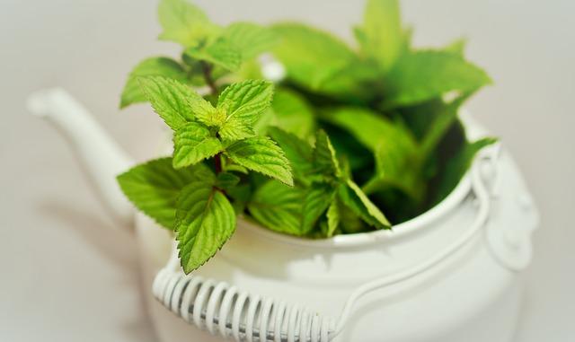 léčivá bylina máta