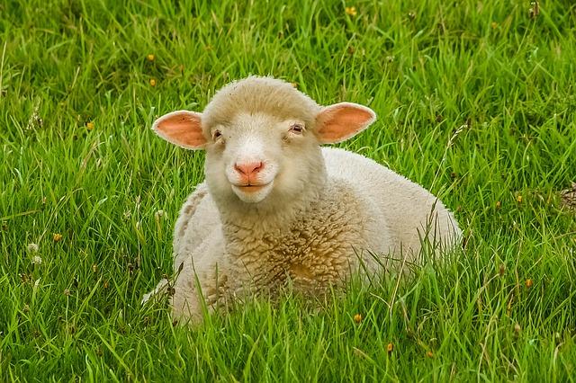 ovce v trávě